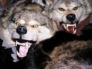 Les loups attaquent