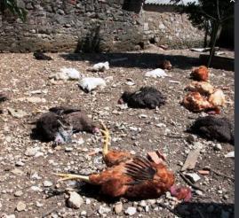 Poules attaquées