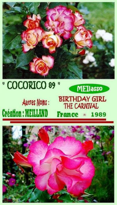 Rose Cocorico 89